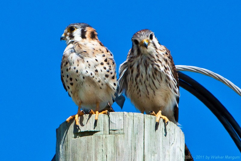 Our resident pair of kestrels. Male on left, female on right.